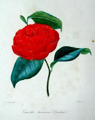 Remond/ Jung N./J. Camellia americana dunlap´s