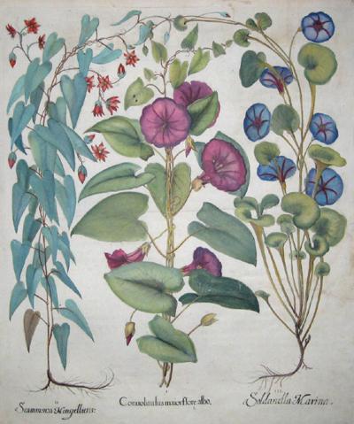 Besler Basilius Scammsnza Monspelliens/ Conuoluulus maiorflore albo/ Soldanella marina
