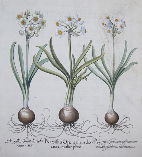 Besler Basilius Narcissus Orientalis medio croceus calice pleno/Narcissus Orientalis medio croceus maior/Narcissus Constantinopolitanus minor calice simbriato medio…