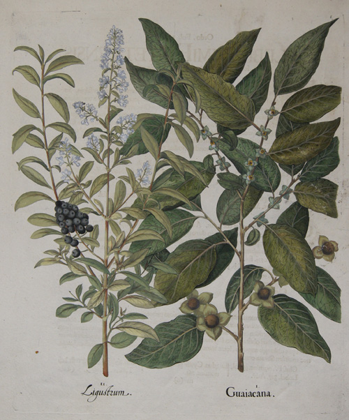 Besler Basilius Guaiacana/ Ligutrum