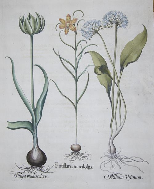 Besler Basilius Fritillaria iuncifolijs/ Allium ursinum/ Tulipa viridis colores