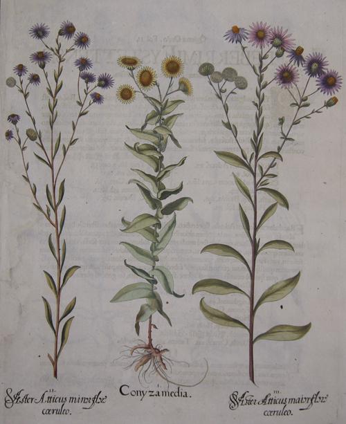 Besler Basilius Conyza media/ Aster Atticus minor flore coeruleo/ Aster atticus maior Flore coeruleo
