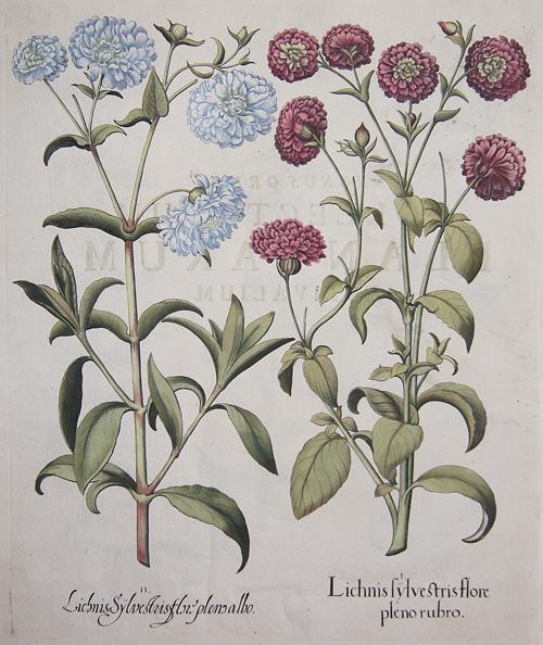 Besler Basilius Lichnis sylvestris flore pleno rubro/Lichnis Sylvestris flore pleno albo