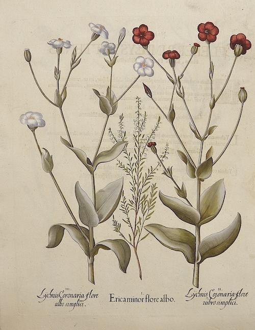 Besler Basilius Lychnis Coronaria
