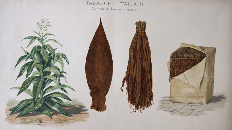 Salmone L. Tabacchi Italiani Cattaro di Lecce ( irigato)