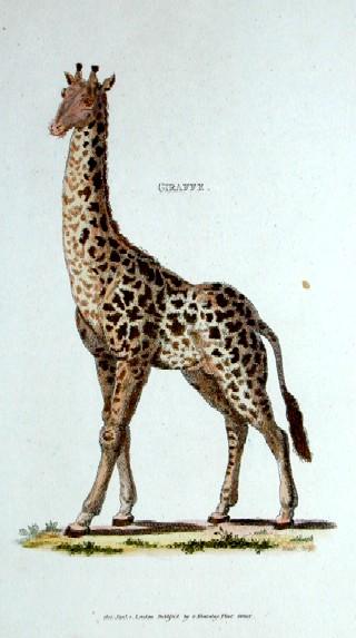 Kearsley G. Giraffe