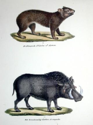 Anonymus  De Kaapsche Klipdas of daman / Het breedsnuiting Varken, de engallo