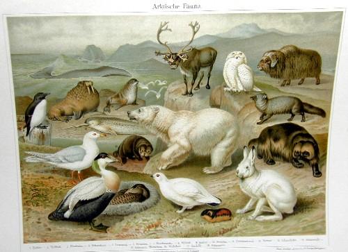 Meyer  Arktische Fauna