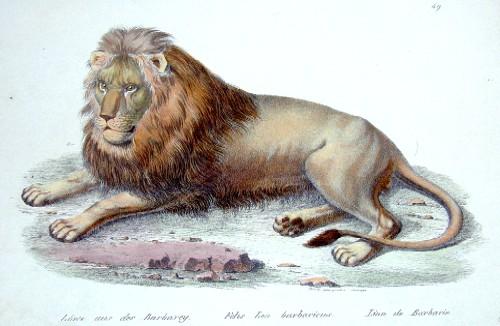 Brodtmann Karl Joseph Löwe aus der Brabarey. Felis Leo barbaricus. Lion de Barbarie.