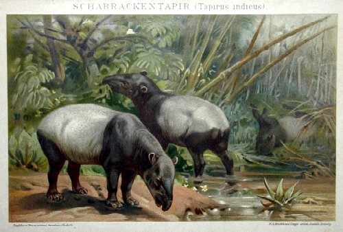 Brodtmann Karl Joseph Schabracken Tapir