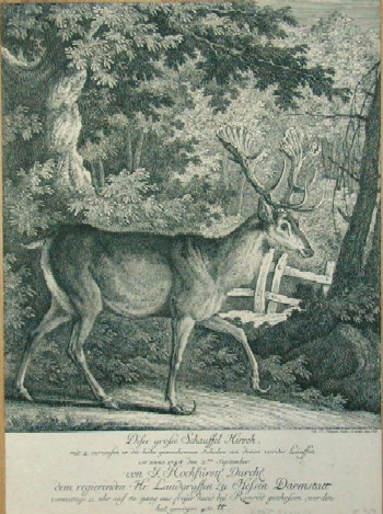 Ridinger  Dieser grosse Schauffel Hirsch, mit 2. Curiusen in die Höhe gewachsenen schalen an denen voder gross Läuffen