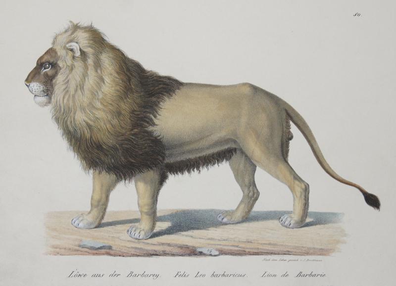 Brodtmann Karl Joseph Löwe aus der Barbarey. Felis Leo barbaricus. Lion de Barbarie.