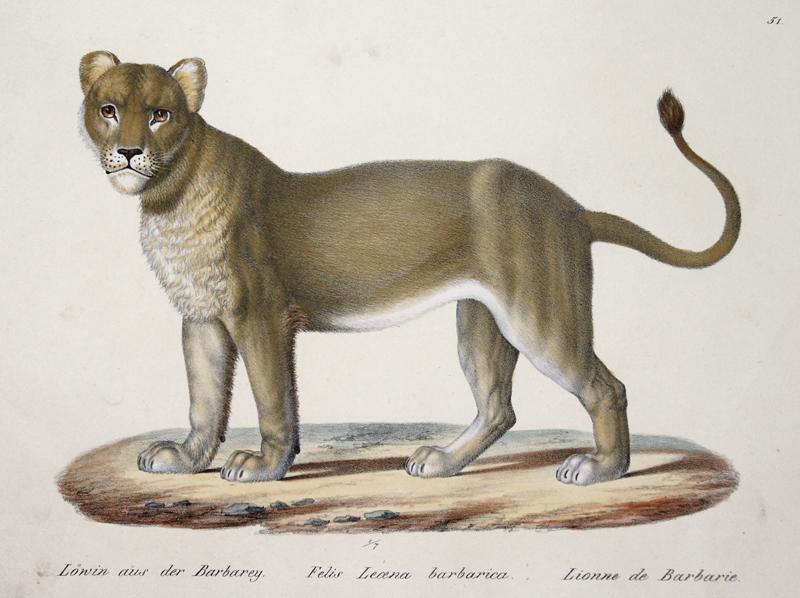 Brodtmann Karl Joseph Löwin aus der Barbarey. Felis Leoena barbarica. Lionne de Barbarie.