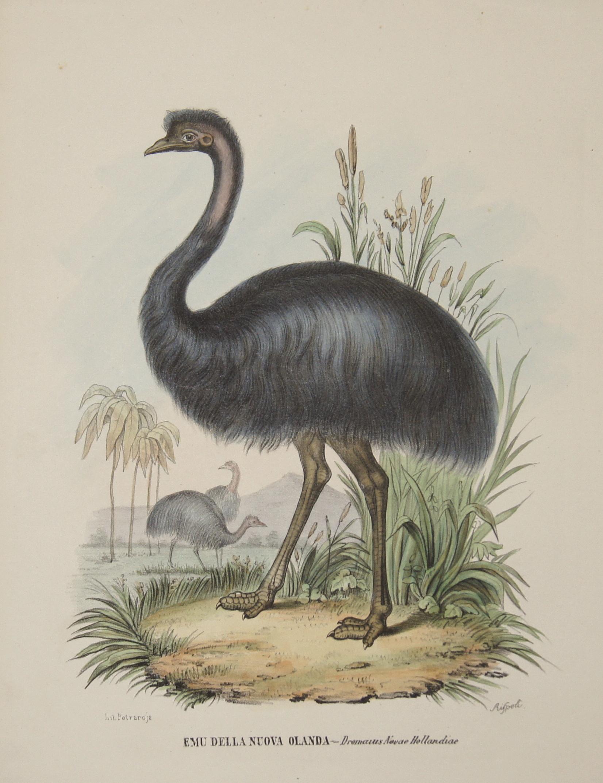 Petraroja  Emu della nuova Olanda – Dromaius Novae Hollandiae