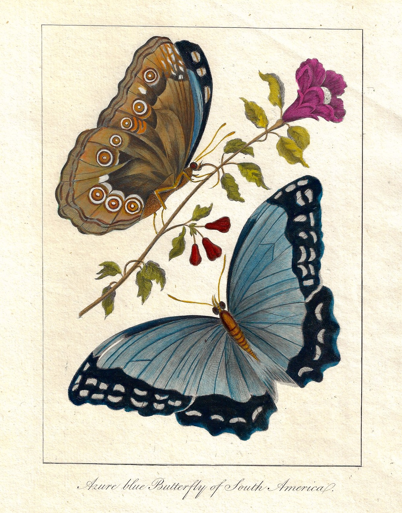 Anonymus  Azure blue Butterfly of South America.