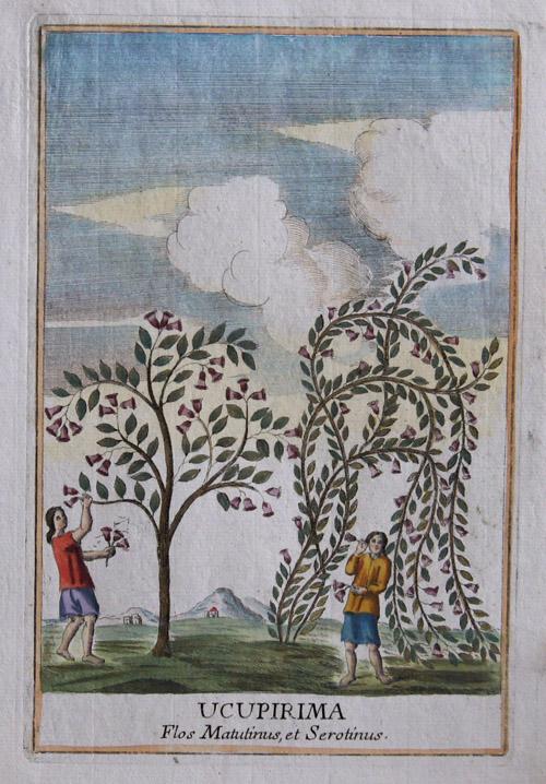 Franceschelli  Ucupirima. Flos Matutinus, et Serotinus.