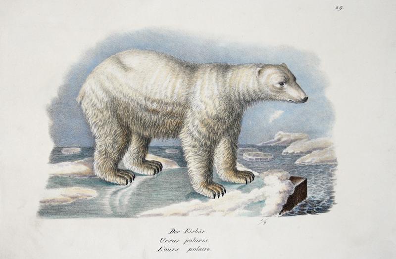 Brodtmann Karl Joseph Der Eisbär. Ursus polaris. L'ours polaire.