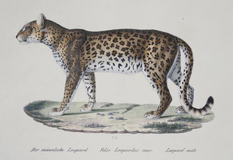 Brodtmann  Der männliche Leopard. Felis Leopardus mas. Leopard male.