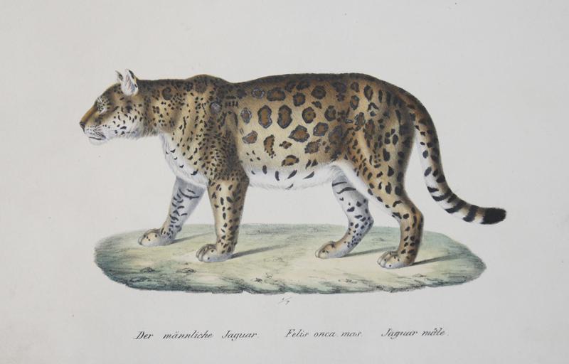 Brodtmann Karl Joseph Der männliche Jaguar. Felis onca, mas. Jaguar male.