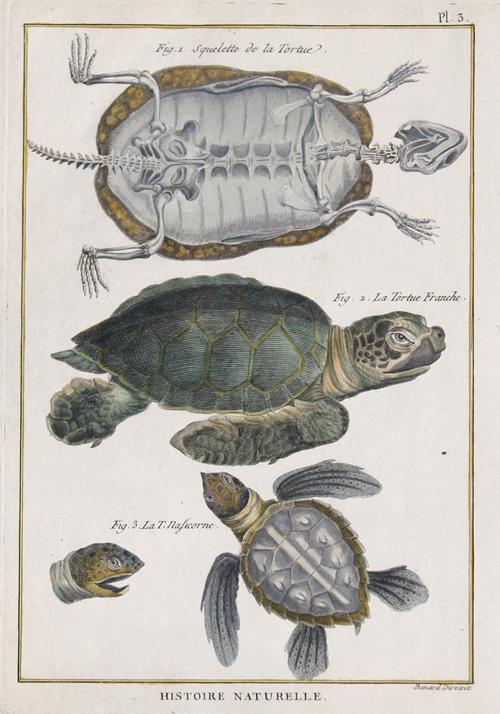 Benard/Martinet R. Histoire Naturelle. Fig. 1. Squelette de la Tortue. Fig. 2. La Tortue Franche. Fig. 3. La T. Nasicorne.