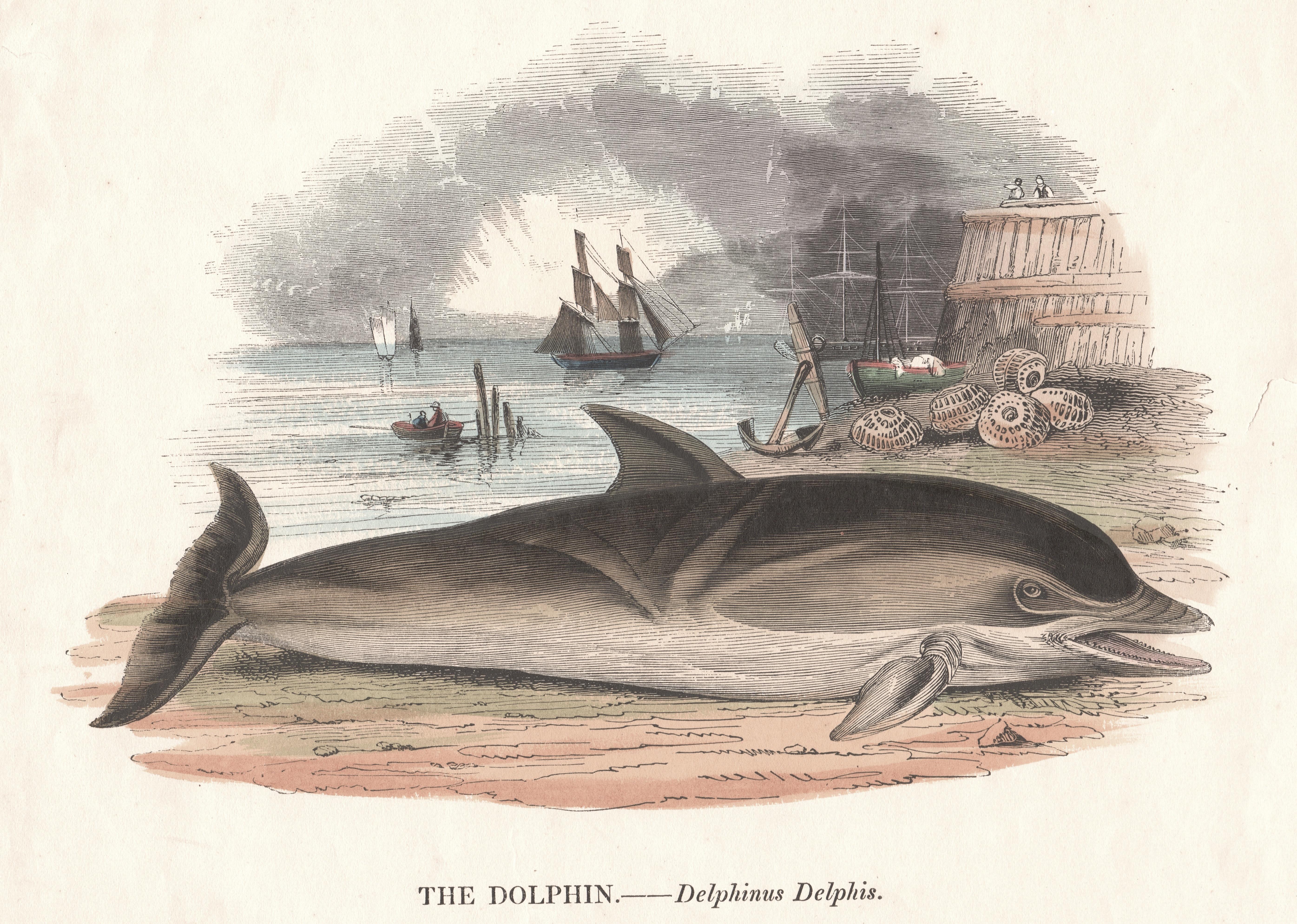Clay R. The Dolphin. Delphinus Delphis.