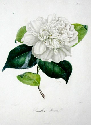 Remond/ Jung N./J. Camellia Grunelli