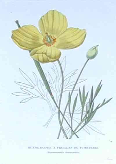 Horto, van Houlleano Hunnemannie a feuilles de fumeterre     Hunnemannia fumareae folia