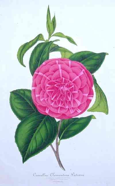 Strobant  Camellia clementine patroni
