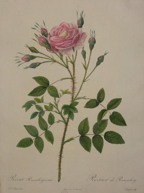 Redoute P.J. Rosa rosenbergiana / Rosier de Rosenberg