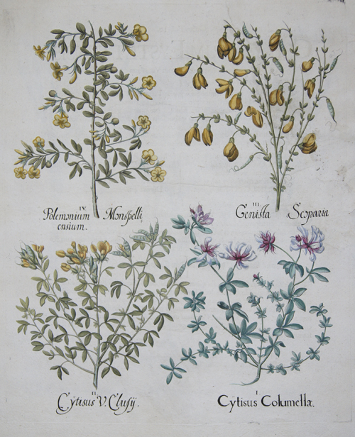 Besler Basilius Cytisus Columellae/ Cytisus V.Clusy..