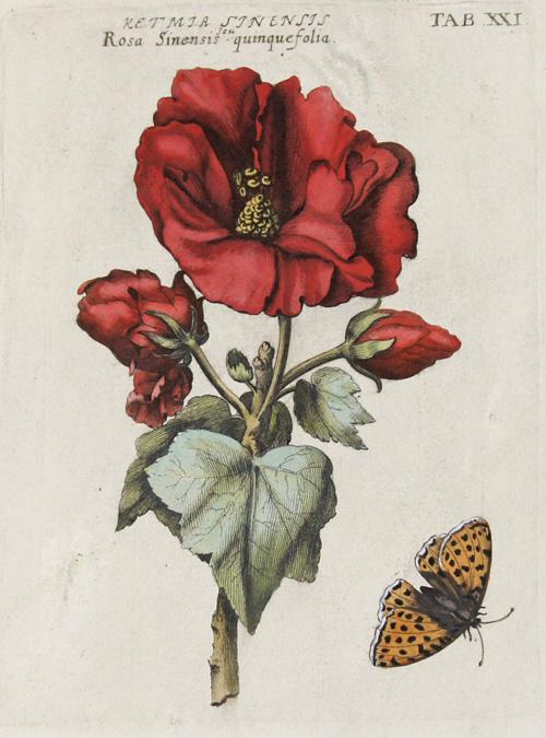 Valentini Michael Ketmia Sinensis seu Rosa Sinensis quinque folia