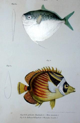 Anonymus  Die gefleckte Mondmakrele( mene maculata)/ der Halbmond- Klippfisch ( chaetodon lunula)