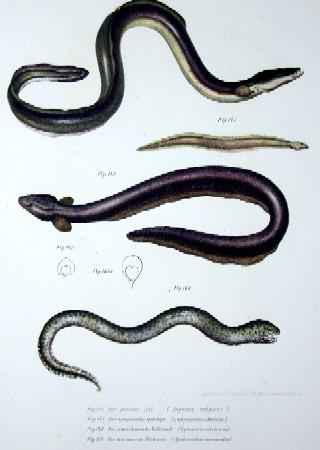 Anonymus  Der gemeine Aal, der europäische Spitzkopf, der amerikanische Zitteraal, der marmorierte Einkieme