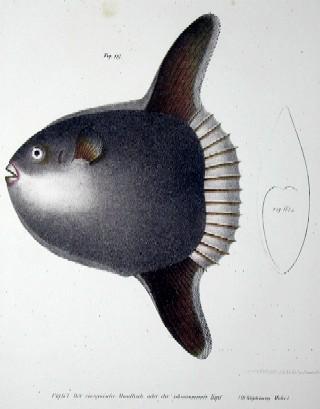 Anonymus  Der europäische Mondfisch oder der schwimmende Kopf ( ortagoriscus Mola)