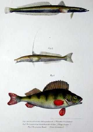 Anonymus  Der brasilianische Schlangenbarsch, der langstralige Schnabelfisch oder die Dame, der gemeine Barsch