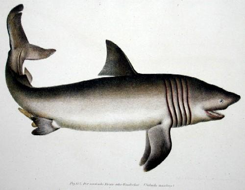 Anonymus  Der nordische Riesen- oder Wanderhai (Selache maxima)
