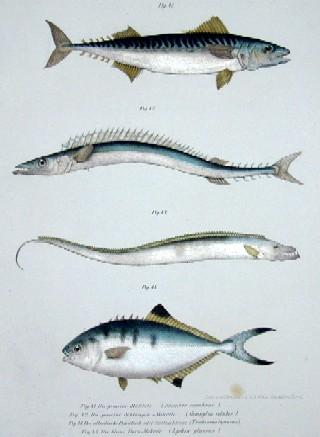 K+K Hof- Staatsdruckerei  Die gemeine Makrele, die gemeine Schlangen Makrele, der ataltische Degenfisch oder oder Spitzschwanz, die Blaue-Dornmakrele