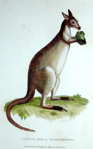 Kearsley G. Blueish-Grey or silver Kanguroo