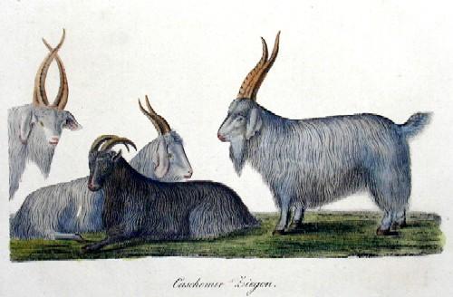 Anonymus  Caschemir-Ziegen