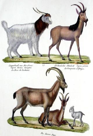 Anonymus  Ziegenbock aus Kaschmier Afrikanischer Steinbock Bezoar Ziege