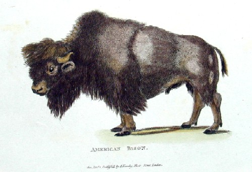 Heath  American Bison