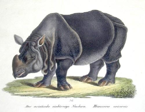 Brodtmann Karl Joseph Das asiatische einhörnige Nashorn