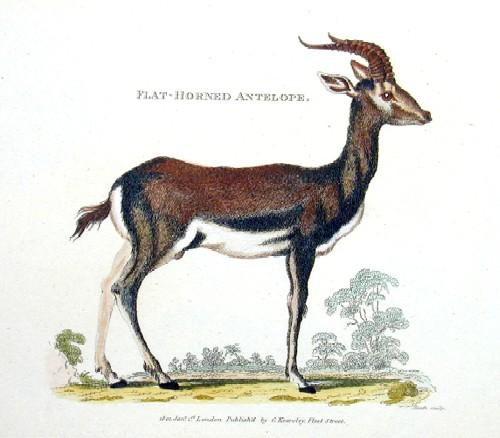 Heath  Flat-Hornit Antelope