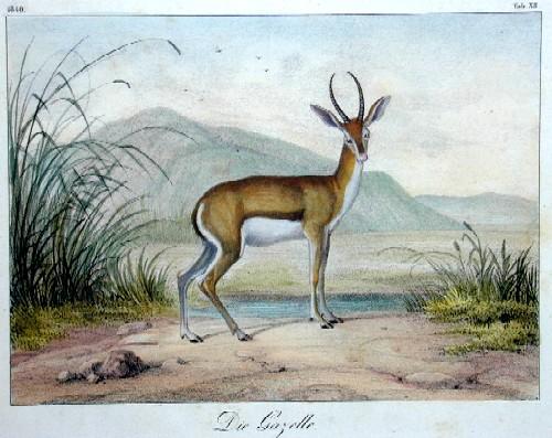 Anonymus  Die Gazelle