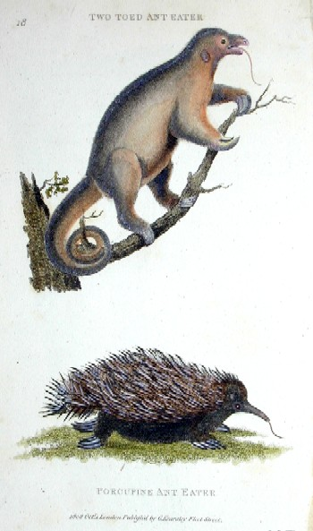 Kearsley G. Two toed ant eater, porcupine ant eater