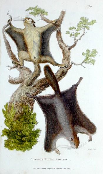 Kearsley G. Common flying squirrel