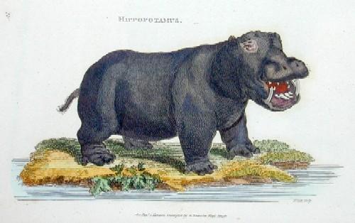 Kearsley  Hyppopotamus