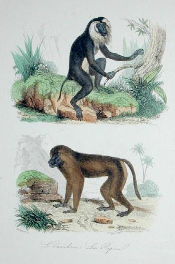 Ferdinand  L´Ouanderou, le Papion