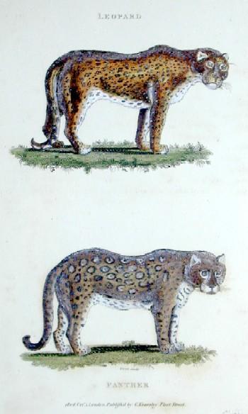 Kearsley G. Leopard , Panther