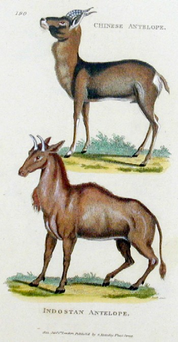 Kearsley G. Chinese antelope, Indostan antelope